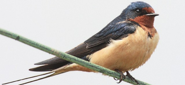 Lessons from freedom for a tangled swallow